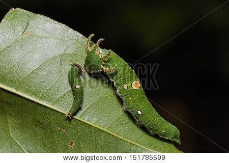 Close up of Tawny Rajah (Charaxes bernardus) caterpillars on their host plant leaf