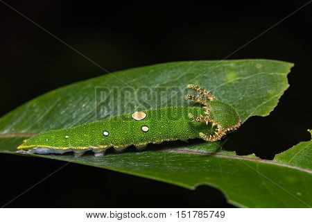 Close up of Tawny Rajah (Charaxes bernardus) caterpillar on its host plant leaf
