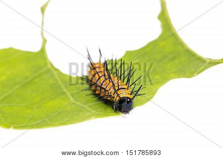 Red Lacewing Caterpillar