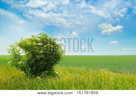 green field elderberry bushes blooming and blue sky with light clouds