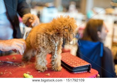 Dog Grooming At International Dog Show