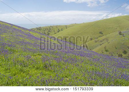 Rolling Hills, Fields Of Salvation Jane, Ocean View, Fleurieu Peninsula, Sa