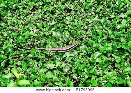 iguana portrait on the leaf background in garden