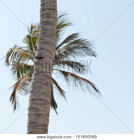 Coconut tree trunk in front of another coconut tree's leaves