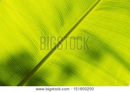 Underside of a banana leaf backlit by the sun