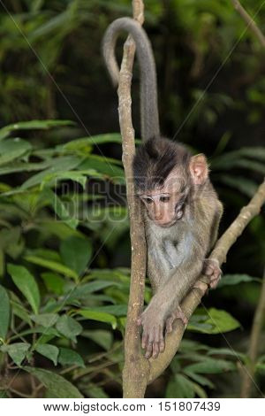 A young Balinese Long-Tailed Monkey in the Ubud Monkey forest in Bali Indonesia.