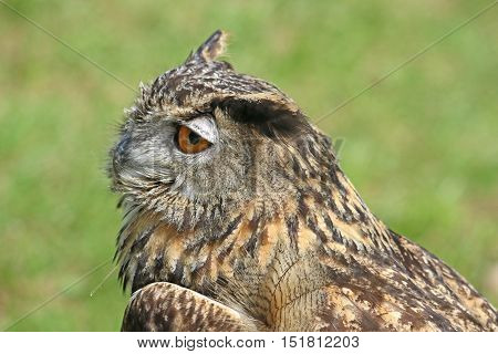 Eagle Owl standing in a grassy field