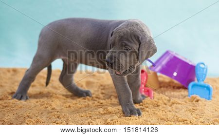 Grey Great Dane purebred puppy on sand looking back at something