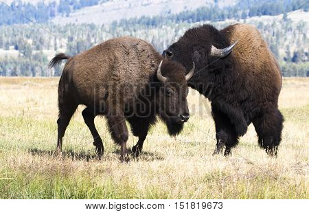 Bull bison with cow bison during rut