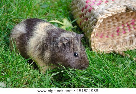 Cute guinea pig on the grass near the basket. Popular household pet. Cavia porcellus.