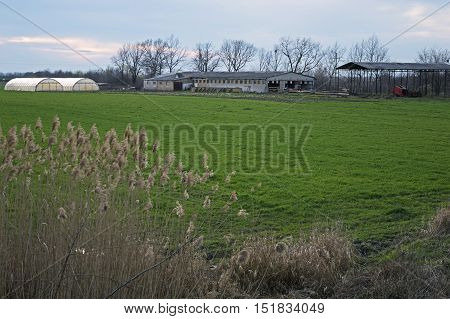 Farmstead and Greenhouse in the Background Behind the Bulrush Bulrush in front of Farmstead and greenhouse. Blue sky. Green grass. Trees behind. Farm Building