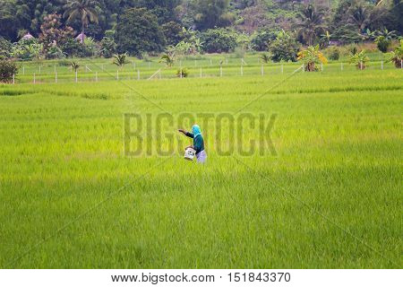 Chiang mai Thailand - October 05 2013 : An unidentified thai farmer sowing fertilizer on his rice field