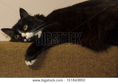 Norwegian forest cat is resting at home