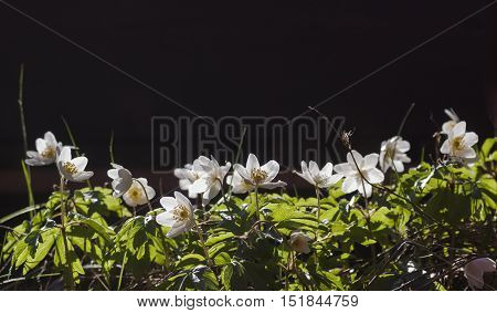 plenty of wood anemones growing at the same place