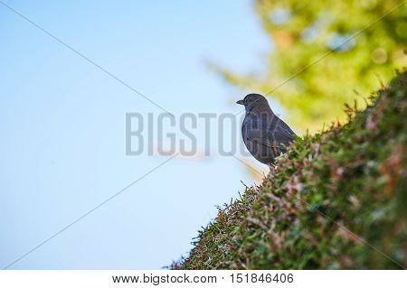 Blackbird sitting on a bush in front of the blue sky and a green tree