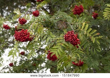 European Rowan, Sorbus aucuparia, with red fruit