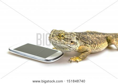 Agama lizard is lying on the white background with empty display of the smart phone. All potential trademarks are removed.