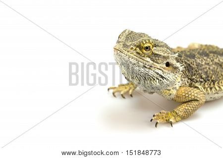 Agama lizard is lying on the white background. Free place for your text is in the left side of the photo.