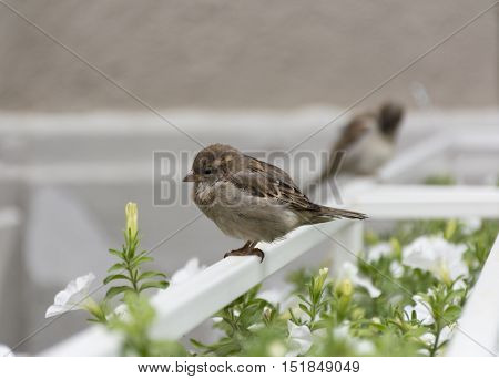 2 Sparrow one closer the other farther sitting on a white perch near flowers and greenery autumn