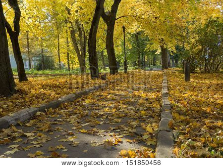 trail a sidewalk in the Park among the trees in the autumn is covered with fallen yellow maple leaves Russia