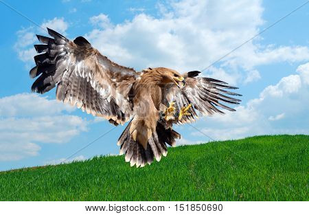 flying hawk attack detail over natural background