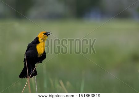 Yellow-headed blackbird in breeding plumage sings. Location is Farmington Waterfowl Management Area in Utah part of the Great Salt Lake Western Hemisphere Shorebird Reserve. Tourism and recreational activities include birdwatching photography and hunting.