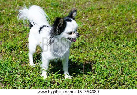 Chihuahua Long Coat.  The Chihuahua Long Coat stands on the grass.