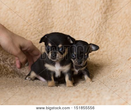 two very small blac dog chihuahua puppy