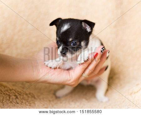 one very small dog  chihuahua little puppy