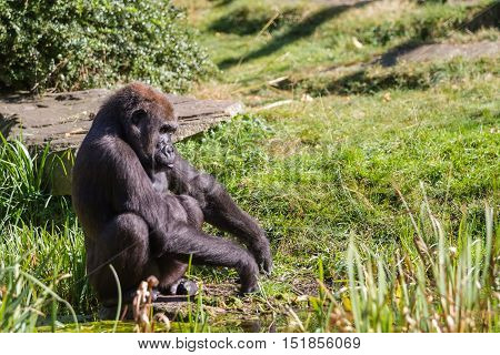 in the grass is an sitting gorilla looking straight ahead of him