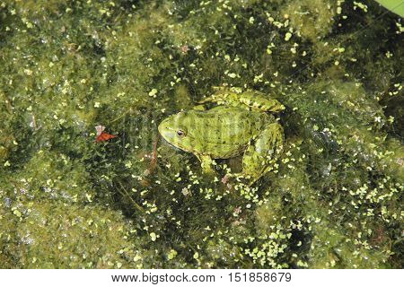 the frog is sitting in green slime in the pond