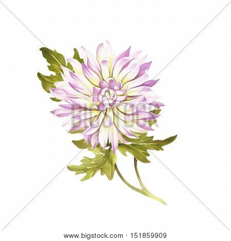 Image chrysanthemum flower. Hand draw watercolor illustration.