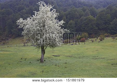 Tree covered in spring blossom in a lush green field along the Carretera Austral  in the Aysen Region of southern Chile.
