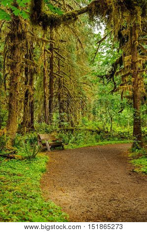 hiking trail and bench with moss covering trees in the temperate Hoh Rain Forest.Olympic National Park Washington State USA
