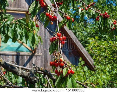 Ripe berries of sweet cherry on a background of a wooden wall darkened outbuilding