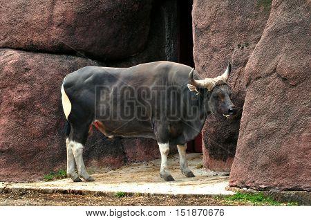 Black And White Water Buffalo