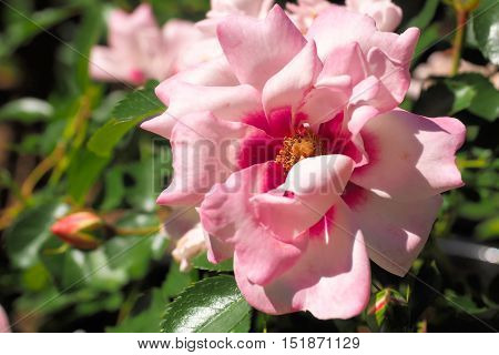 A pale pink and deep magenta rose flower opening to reveal the stamens.