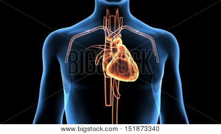 3d rendered medically accurate illustration of human heart anatomy
