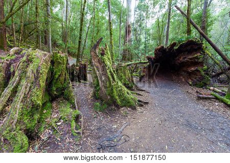 Huge hollow fallen tree root and stump in rainforest at Mount Field National Park, Tasmania