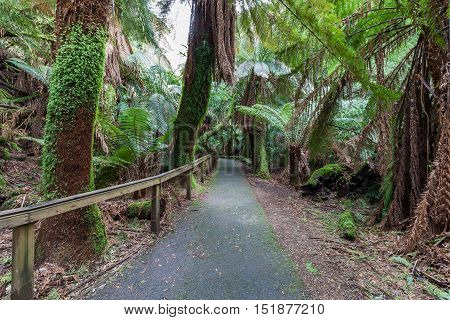Walkway among ferns in rainforest towards Russell Falls, Mount Field National Park, Tasmania.