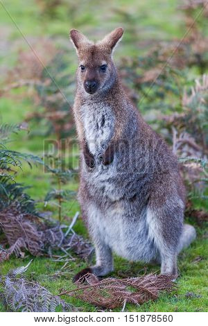 Bennett's Wallaby Among Ferns In Tasmania