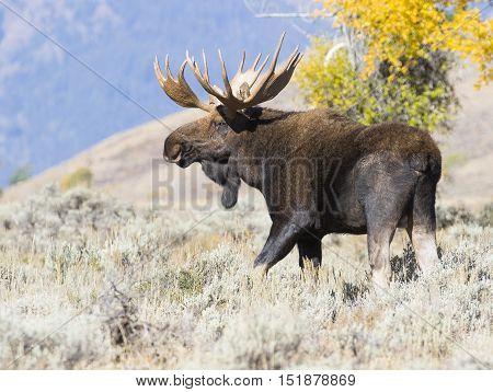 Bull moose in sagebrush looking for cow moose