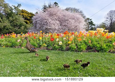 Mother Duck, Ducklings and Colorful Display of Poppies and Cherry Blossoms.  Christchurch Botanic Gardens, Canterbury, New Zealand