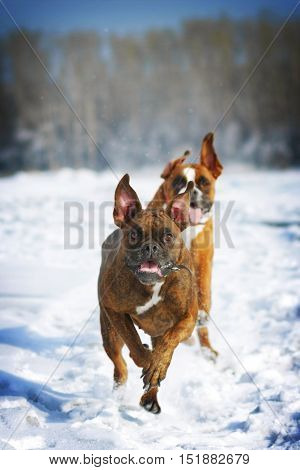 two dogs of breed boxer fun run in the winter in nature chasing each other over the white snow