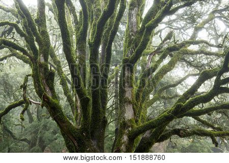 Mossy Tree Brunches in the Fog. Castle Rock State Park, California, USA