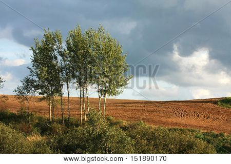 White birch freshly plowed field and cloudy sky