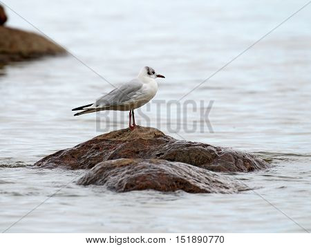 Seagull sitting on a rock protruding from the sea.