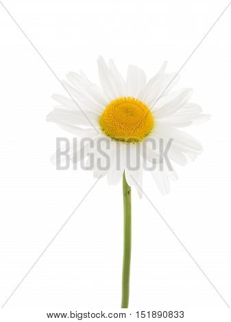 delicate white flower daisy with a yellow center on a thin curved long green stem isolated on a white vertical background vertical