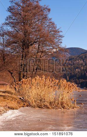 Tree and reeds in a frozen lake in winter. Lago di Serraia (Serraia lake) Baselga di Pine Trentino Alto Adige Italy