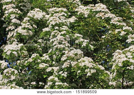 Flowers on a Hawthorn tree in spring